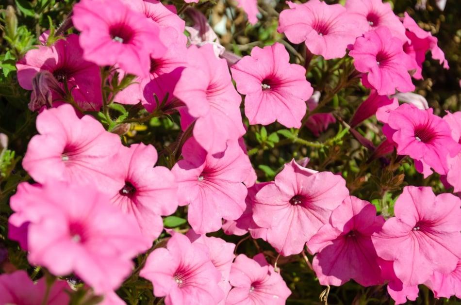 Pink petunia flowers bloom in the garden.