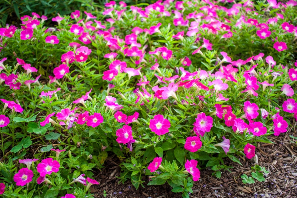 Group of bright pink petunias.