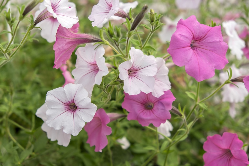 Pink and white petunias growing together.