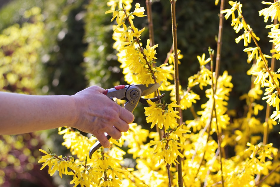 Person pruning forsythia bushes
