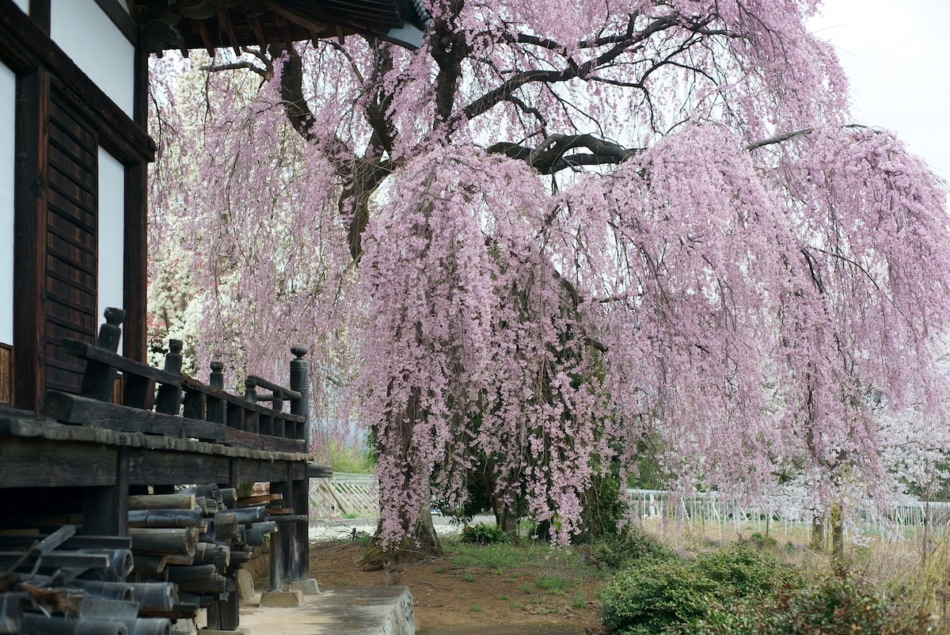 Weeping cherry tree flowering trees.
