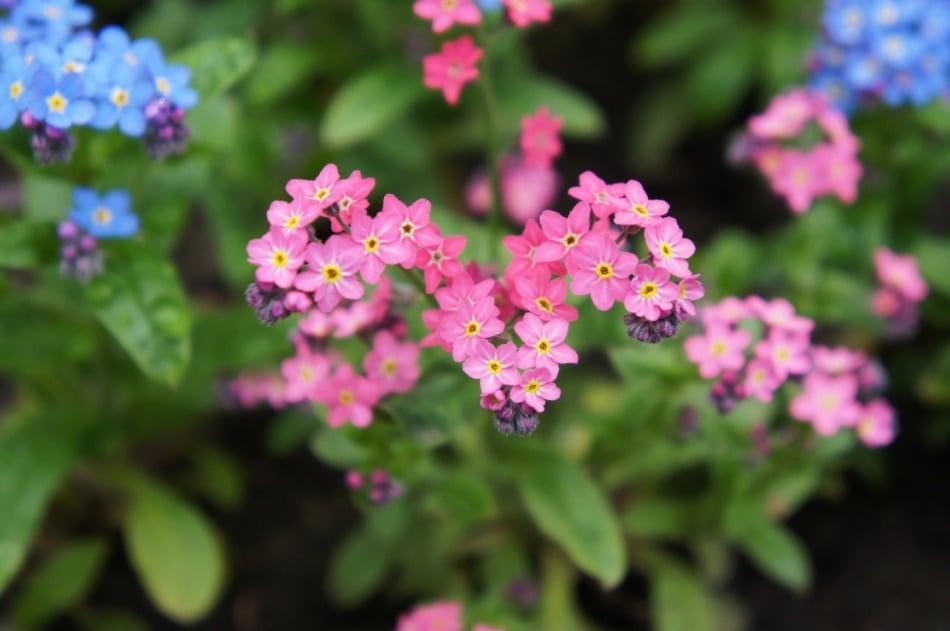 Myosotis or forget-me-nots or scorpion pink flowers
