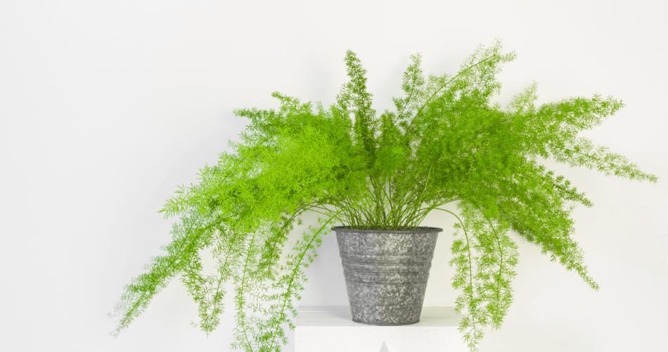 Asparagus fern houseplant in a pot