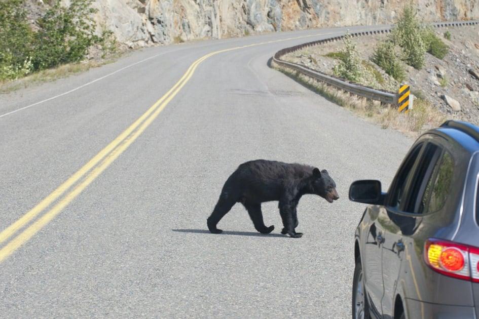 A black bear crossing the road in Alaska.