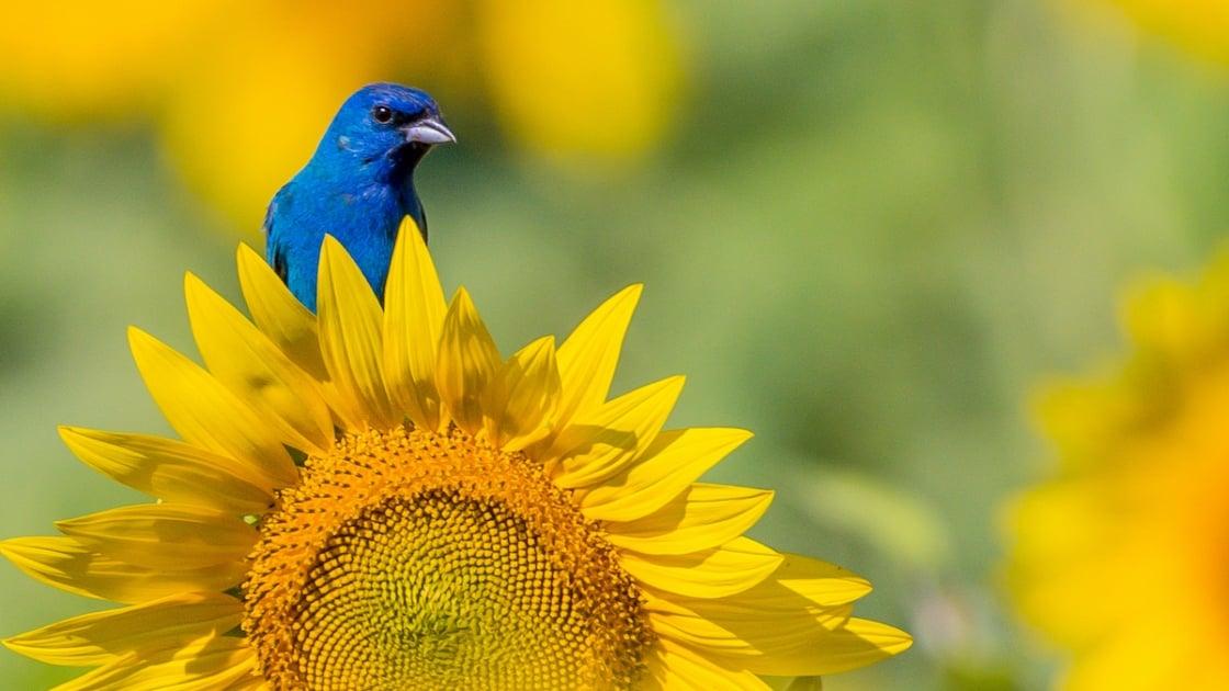 Indigo Bunting Blue Bird on Sunflowers