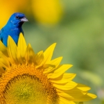 Indigo Bunting Blue Bird on Sunflowers