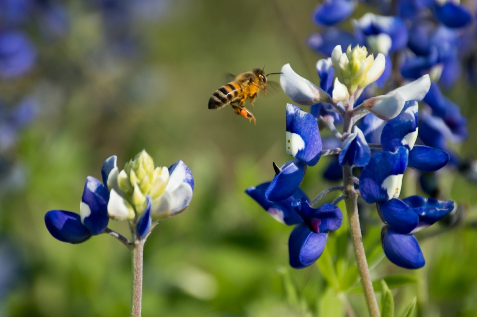 Bluebonnet with a bee