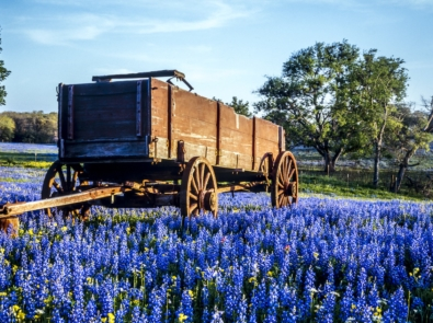 Bluebonnets: Legends and Lore of the Texas State Flower featured image