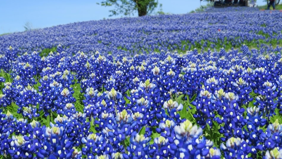 Beautiful field of Texas wildflowers in the spring