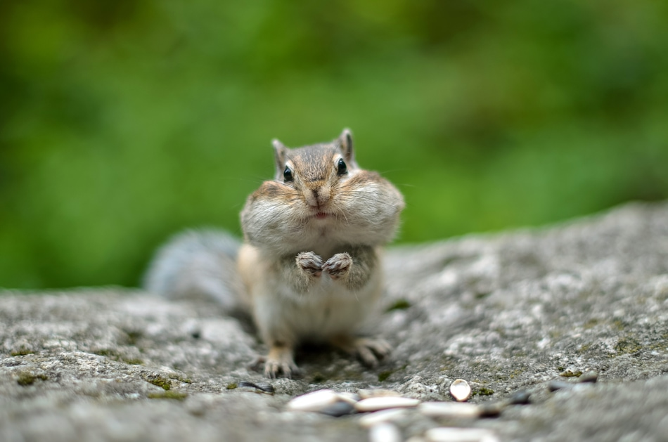 Chipmunk with cheeks full of nuts and seeds