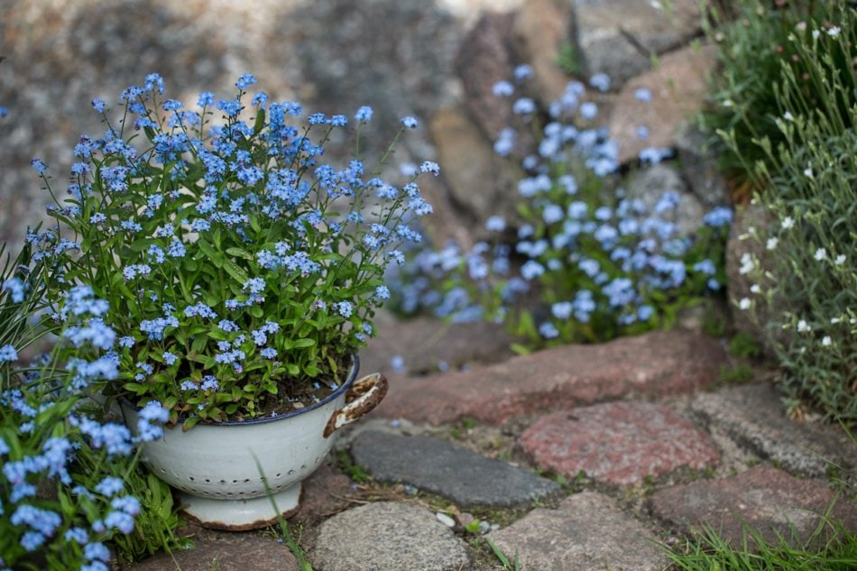 forget-me-not blue flowers growing in a colander