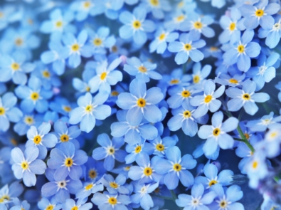 Forget-Me-Nots: Tips and Symbolism of These Pretty Blue Flowers featured image