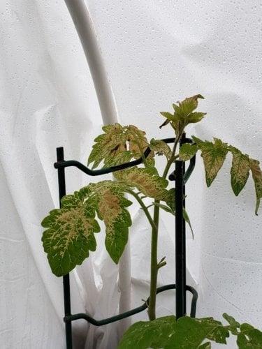 05-09-2021, tomato plant under hoop garden.jpg