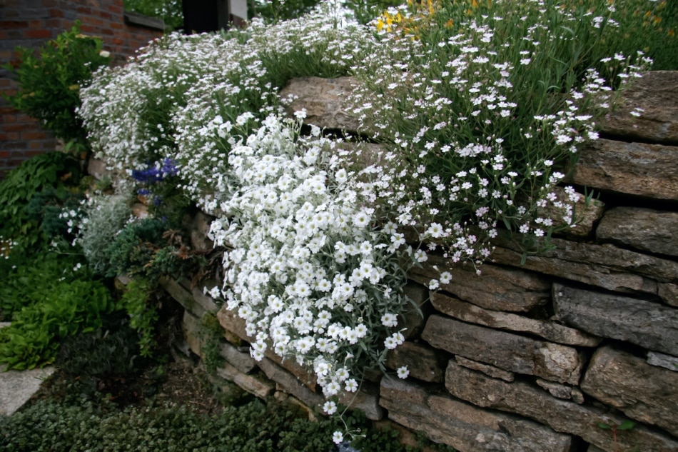 Baby's breath in the garden against a rock wall