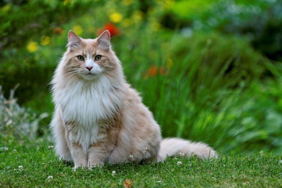 Beautiful fluffy cat in the garden.
