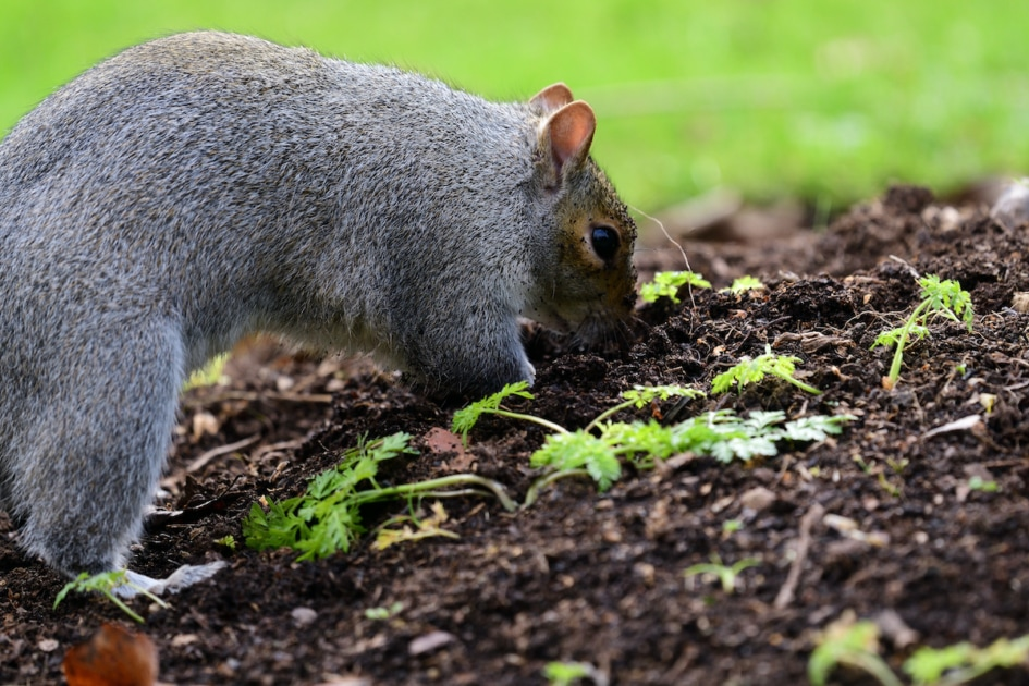 Close up of a gray squirrel (sciurus carolinensis) digging up a carrot bed