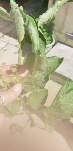 tomato leaves.jpg