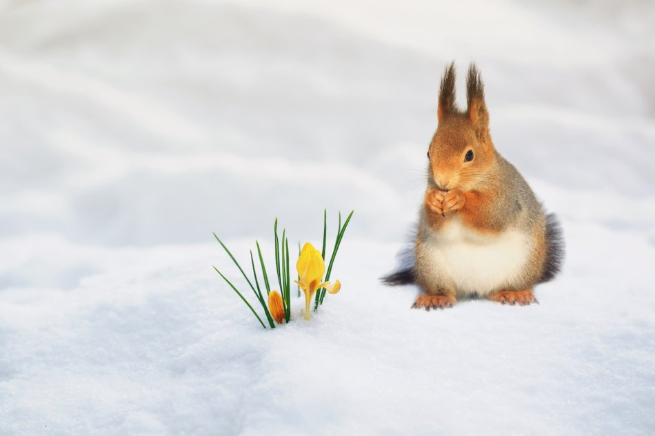 Red squirrel snacking in the snow by crocus flowers.