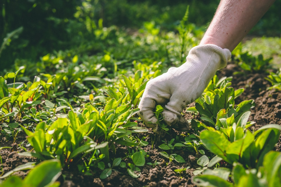 A woman weeds her hands in the gloves of a plant in the garden.