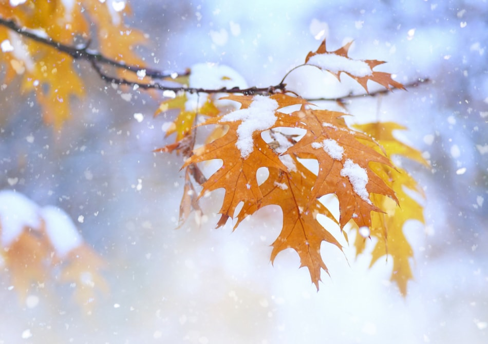 Fall leaves covered in snow.