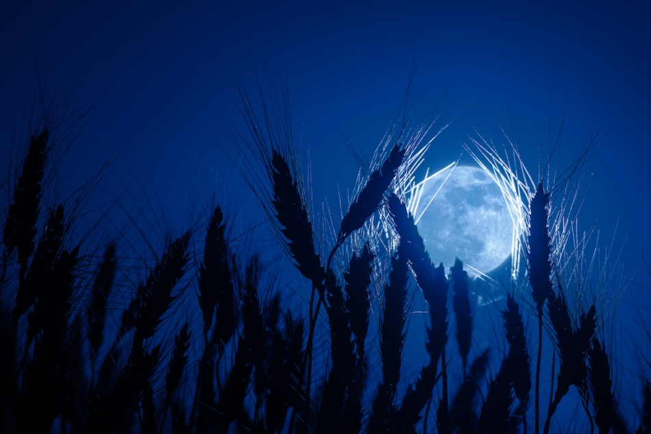Silhouetts wheat in background of full moon, night agricultural landscape.