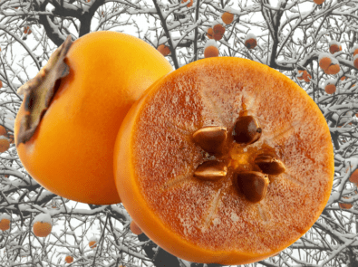 Persimmon Seed Winter Forecast 2021-22 featured image