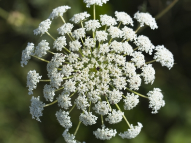Queen Anne's Lace: More Than A Wild Carrot featured image
